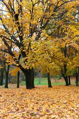 Autumn tree with yellow foliage