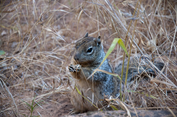 Squirrel in Zion National Park in Utah USA