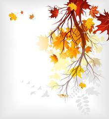 Maple autumn  leaves