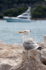 Gull watching a yacht at sea
