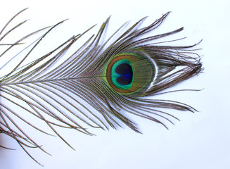 Beautiful peacock feather on white background