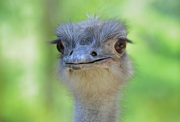 A portrait of an ostrich