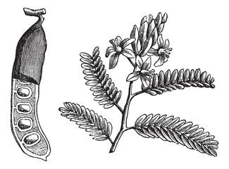 Tamarind (Tamarindus indica), vintage engraving.