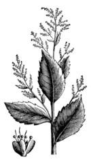 Chenopodium anthelminticum or Wormseed Goosefoot vermifuge plant