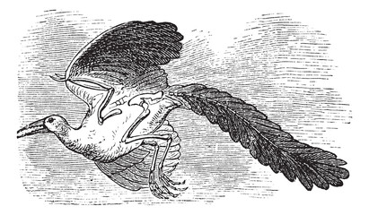 Archaeopteryx, Original bird or First bird vintage engraving.
