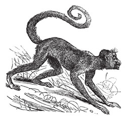 Ateles paniscus or Red-faced spider monkey. Vintage engraving.