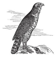 Northern Goshawk or Accipiter gentilis. Vintage engraving.