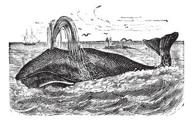 Bowhead Whale vintage engraving