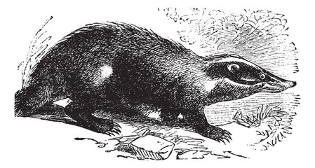 European Badger or Meles meles, vintage engraving.