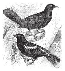 Bobolink or Dolichonyx oryzivorus, two, birds, vintage engraving