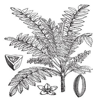 Indian Frankincense or Salai or Boswellia serrata vintage engrav