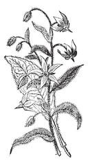 Borage or Borago officinalis, flowers, vintage engraving.