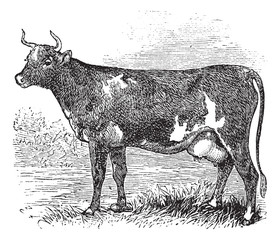 Ayrshire or Cunningham, Cattle, vintage engraving.