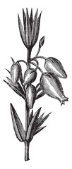 Bell heather or Erica cinerea, leaves, flowers, vintage engravin