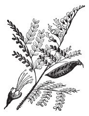 Caesalpinia echinata or brazilwood vintage engraving.