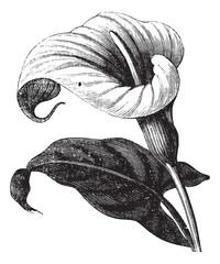 Zantedeschia aethiopica or Richardia Africana, flower, vintage e