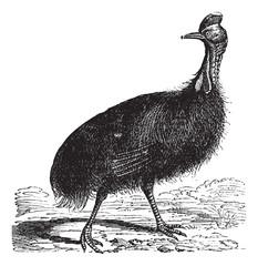 Casuarius galeatus or cassowary vintage engraving
