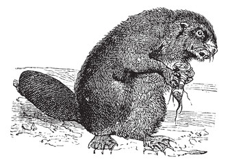 Beaver or rodent vintage engraving