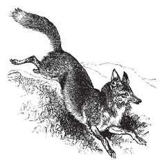 Golden jackal or Canis aureus vintage engraving