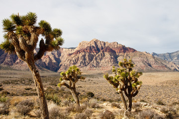 Yucca Plants in Foreground with Mountains and Desert in Backgrou