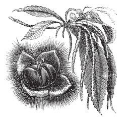 Chestnut vintage engraving