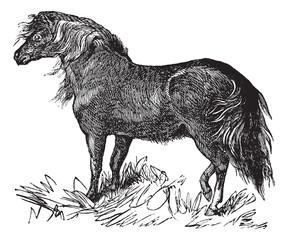 Shetland Pony vintage engraving