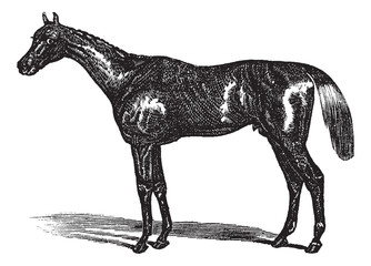 Thoroughbred vintage engraving