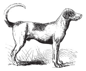 Foxhound vintage engraving