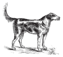 Harrier or Canis lupus familiaris vintage engraving