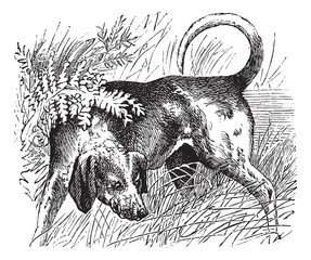 Beagle or Canis lupus familiaris vintage engraving