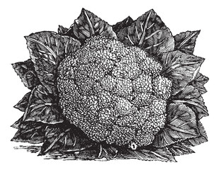 Broccoli or Brassica oleracea vintage engraving