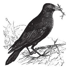 Jackdaw or Corvus monedula vintage engraving