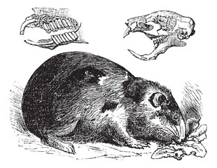 Guinea pig or Cavy or Cavia porcellus vintage engraving