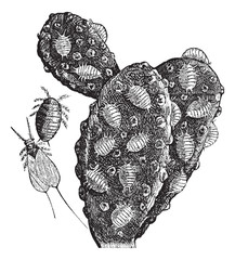 Mealybug or Pseudococcidae vintage engraving