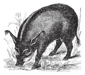 Warthog or Wart-hog or African Lens-Pig or Phacochoerus africanu