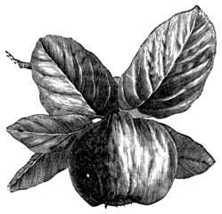 Quince or Cydonia oblonga vintage engraving