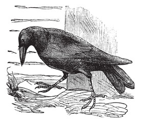 Raven or Corvus sp. vintage engraving