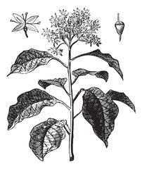 Pagoda Dogwood or Alternate-leaved Dogwood or Cornus alternifoli
