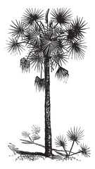 Palmetto or Cabbage Palm or Cabbage Palmetto or Palmetto Palm or