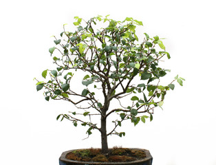 Bonsai on a white background