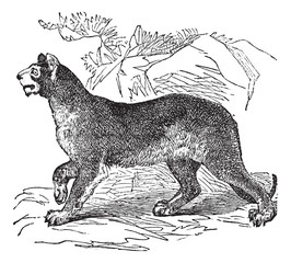 Cougar or Puma or Panther or Mountain Lion or Puma concolor vint