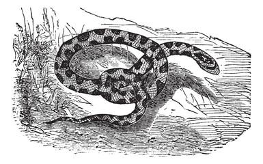 Chicken Snake or Rat Snake or Elaphe sp. or Pituophis melanoleuc