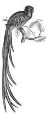 Resplendent Quetzal or Pharomachrus mocinno vintage engraving