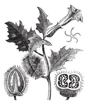 Thorn Apple or Jimson Weed or Datura stramonium, vintage engravi