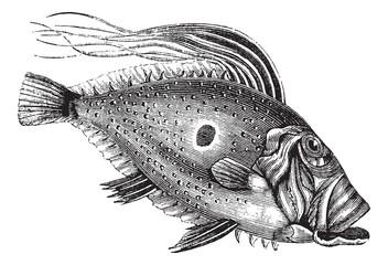 John Dory or Saint Pierre Fish or Saint Peter Fish or Zeus faber