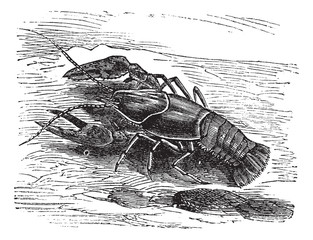 Lobster or Crayfish or Astacus sp., vintage engraving