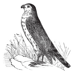Merlin or Pigeon Hawk or Falco columbarius, vintage engraving
