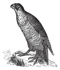 Peregrine Falcon or Falco peregrinus, vintage engraving