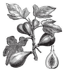 Common Fig or Ficus carica, vintage engraving