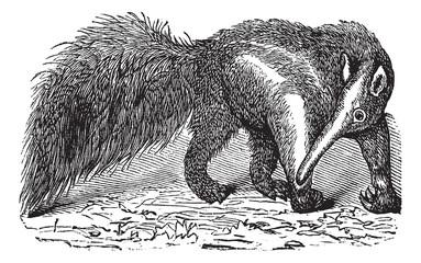 Giant Anteater or Myrmecophaga tridactyla, vintage engraving